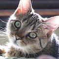 Łobuz wpatrzony #kot #łobuz #oczy