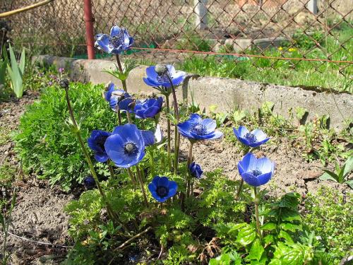 #kwiaty #anemony #zawilce #ogród #wiosna