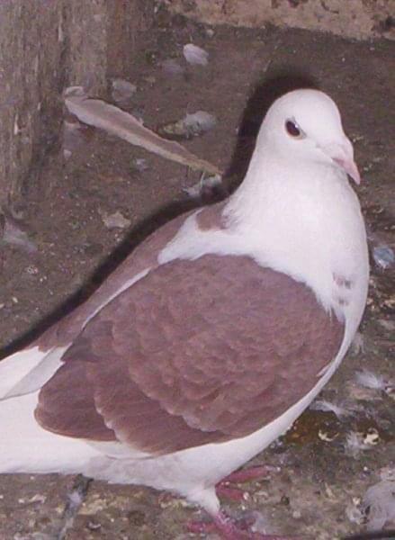 samica młoda 2