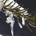 Lód, śnieg i światło- cud natury #lód #zima #śnieg #sosna #zbliżenie