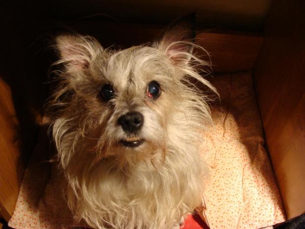A oto Pikuś ! Piesek mojej znajomej. #pies #piesek #pieseczek #piesio #zwierzęta #kudłaty #pikuś