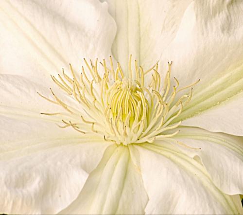 """Pierwszy kwiat wyhodowany przeze mnie z cebulki:) Clematis""""Madame le Coultre"""""""
