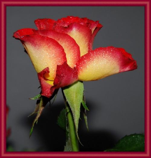 Roze #kwiaty #roze #ogrody #alicjaszrednicka