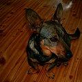 Piesek Miki 3 #pies #mały #szczur #zwieżę #miki #malec #mini #kundel #wilk #szczurek