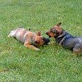 zabawa psów(prawie jak walka)3 #dog #mlody #OwczarekNiemiecki #pies #piesek #rasa #rasowy #rodowod #suczka #szczeniak #kundel #zabawa #walka #zlosc #rodzina #glupota #miki #szczur