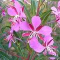 Kwitnący oset #Oset #kwiat #natura #kiwatek #macro #makro #róż #dojzewanie #dojrzewanie #dizkosc