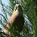 Młoda sójka parę minut przed opuszczeniem rodzinnego gniazda :) #ptaki #zwierzęta #sójka #flora #fauna