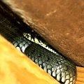 dwa węże, poddachowiec leśno-ogrodowy. on siedzi na krokwi pod dachem, może znów czeka nas epoka gadów latajacych? #zaskroniec #gad