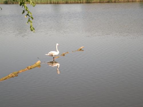 łabędź #łabędź #jezioro