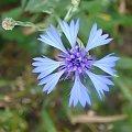 Zobacz, jakie cudeńka mamy pod nogami #chaber #pola #parzniewskie #przyroda #kwiaty