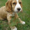#cudny #piesek #psy #spaniel #mały #szczeniak #mój