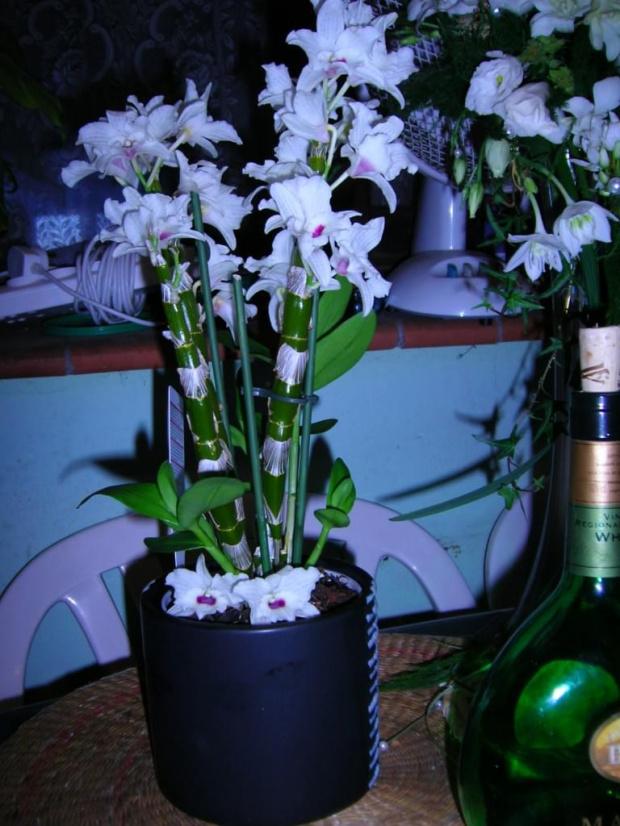 to to już moje całkowite zaskoczenie - prezent Belgów na poprawiny - ale jak może dendrobium typu nobile kwitnać w lipcu?????