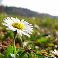 #stokrotka #łąka #kwiat