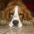 #zwierzęta #psy #spaniel #pies #cudo #uroczy #piesek