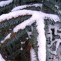 Gałązki zimą #zima #mróz #snieg #śnieg #listopad #zaspy #macro #drzewa #przyroda #natura #gałęzie #szron #zimno #biel