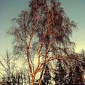 Zimowe Brzozy #jesień #grudzień #drzewa