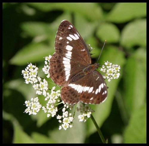 Motylek dla Kilomikezulu:-)