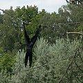 goryl #zwierzęta #małpa #goryle #goryl