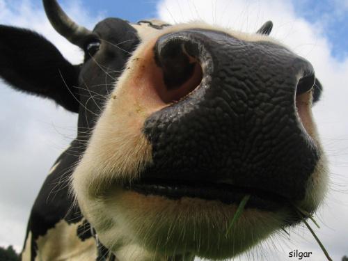 Świat wesołych krów #krowa #krowy #zwierzęta #ciekawe #śmieszne