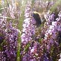#wrzos #trzmiel #kwiaty