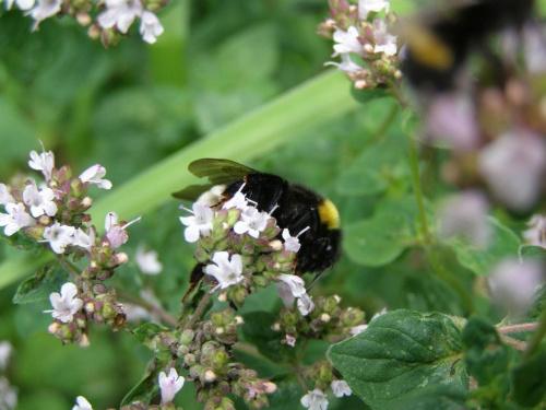 #owady #zwierzęta #trzmiele #natura