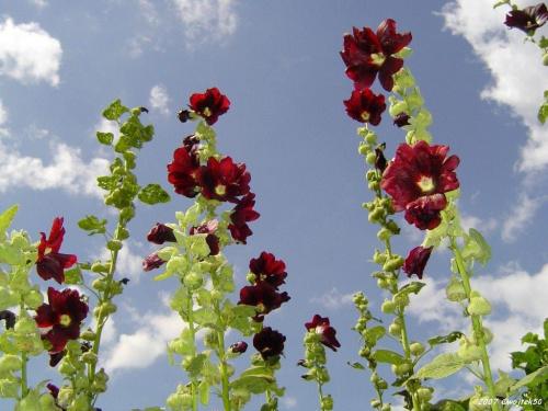 ...malwy ... #kwiaty #malwa #lato